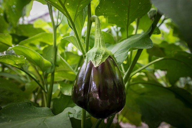 How To Grow Large Eggplant