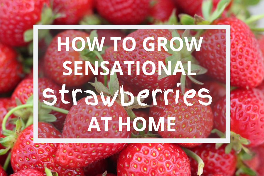 How To Grow Sensational Strawberries At Home