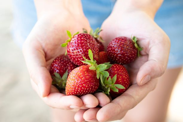 How To Grow Strawberries Person Holding Strawberries