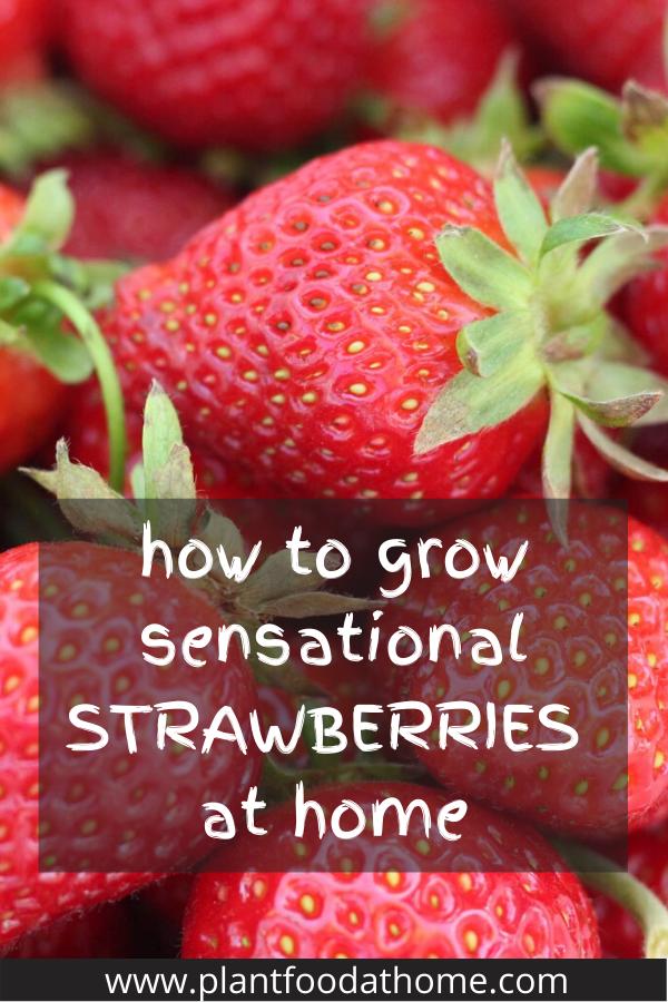How to Grow Sensational Strawberries