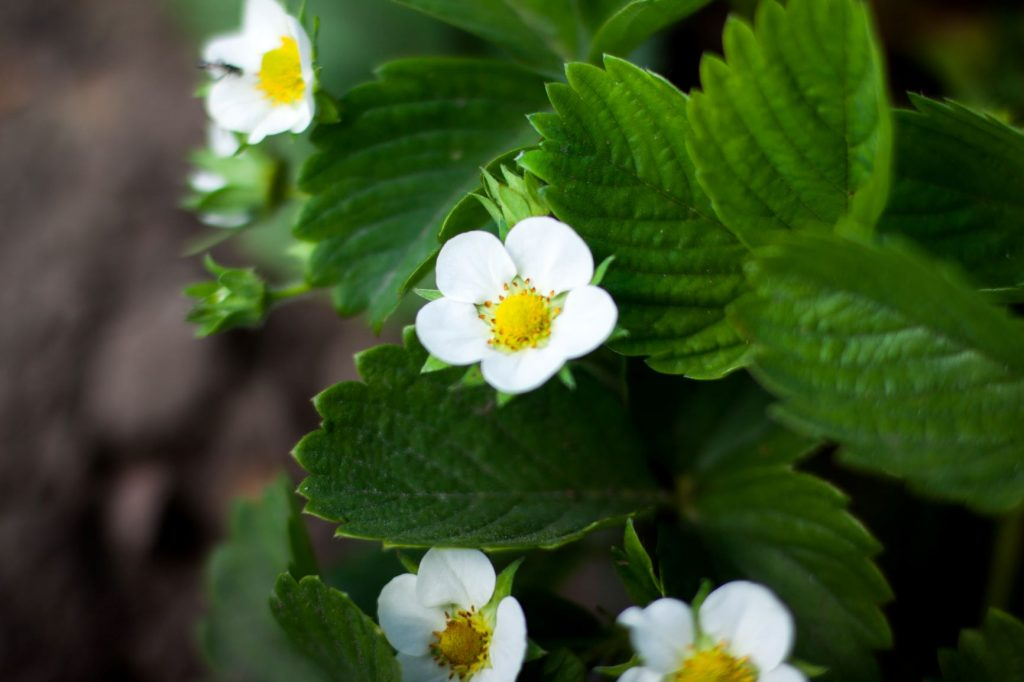 Strawberry Flowers - How To Grow Strawberries