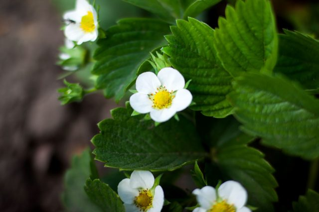Strawberry Flowers - How To Grow Strawberries