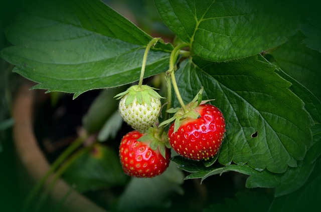 Strawberry plant grown in pots and containers - How To Grow Strawberries