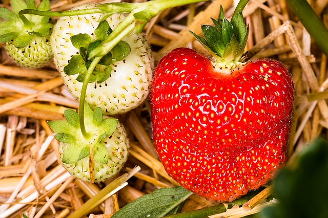 Strawberry plants mulched with straw - How To Grow Strawberries