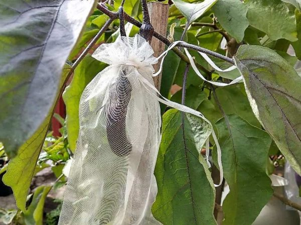 How To Grow Eggplant - Protecting Eggplant From Pests With Exclusion Bags