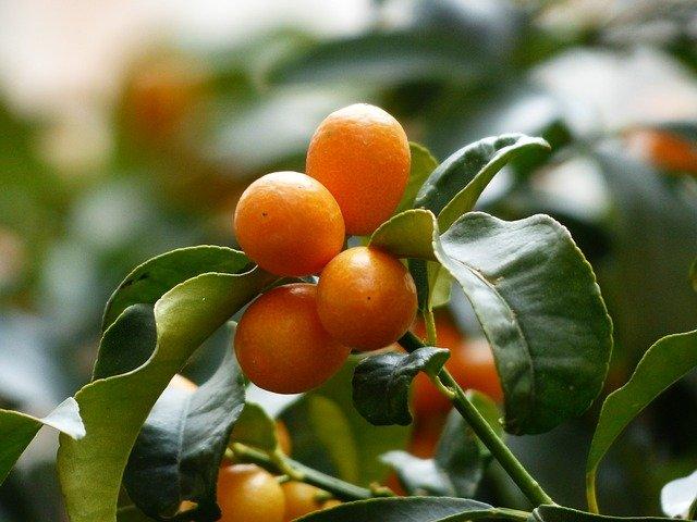 How to grow a kumquat tree - guide to kumquat tree care