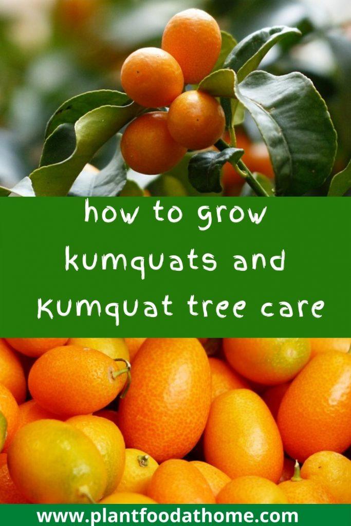 How to grow kumquats - guide to kumquat tree care