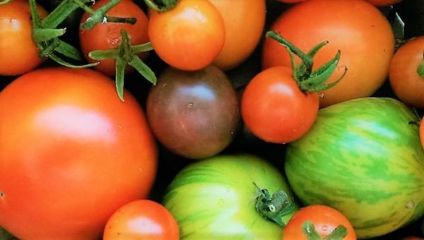 How to Grow Tomatoes In Pots - Tomato Harvest With Heirlooms