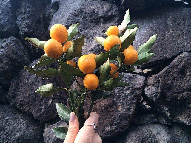 kumquat fruit - how to grow a kumquat tree