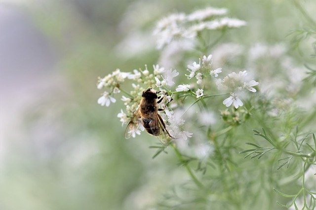 Flowing cilantro attracting bees to the garden