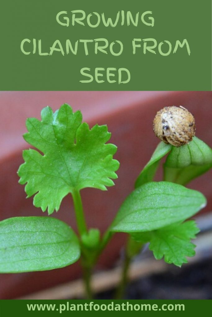 Growing Cilantro From Seed
