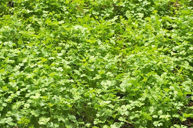 Growing Cilantro In The Garden