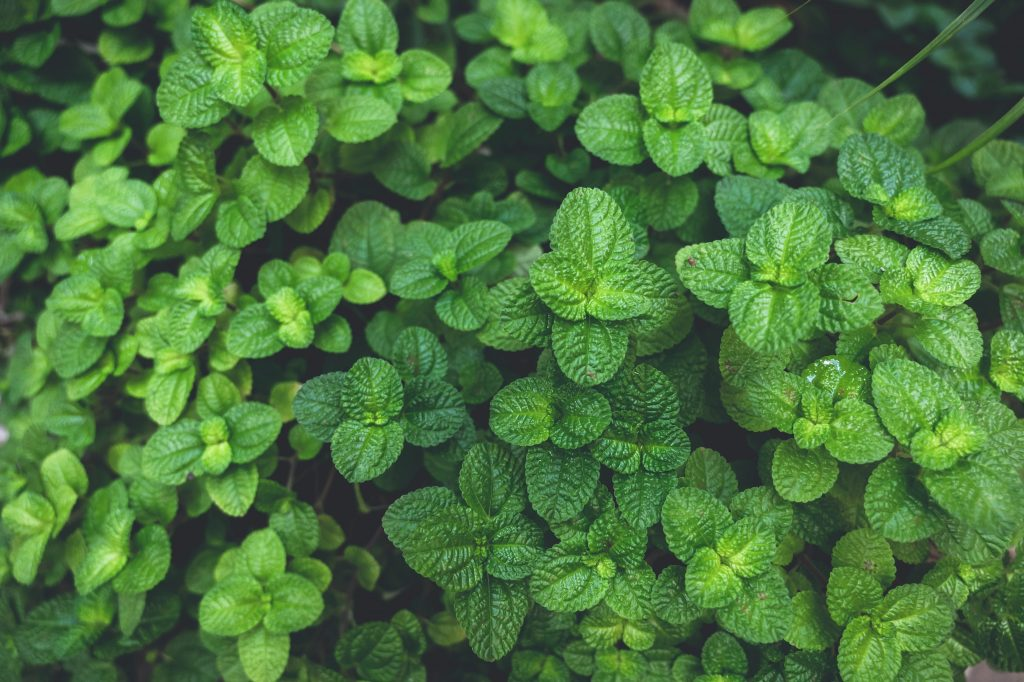 Growing Mint In the Garden