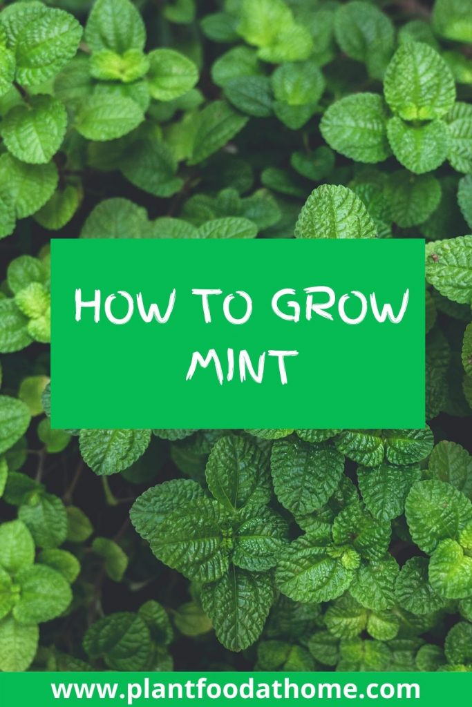 Guide How To Grow Mint