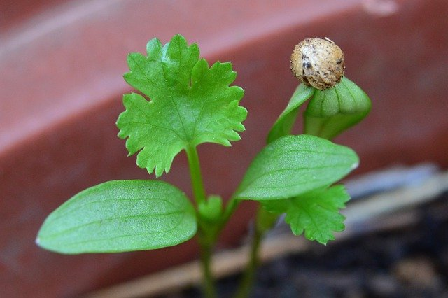 How To Germinate Cilantro From Seed