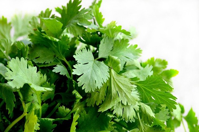 How To Grow Cilantro In The Edible Garden At Home