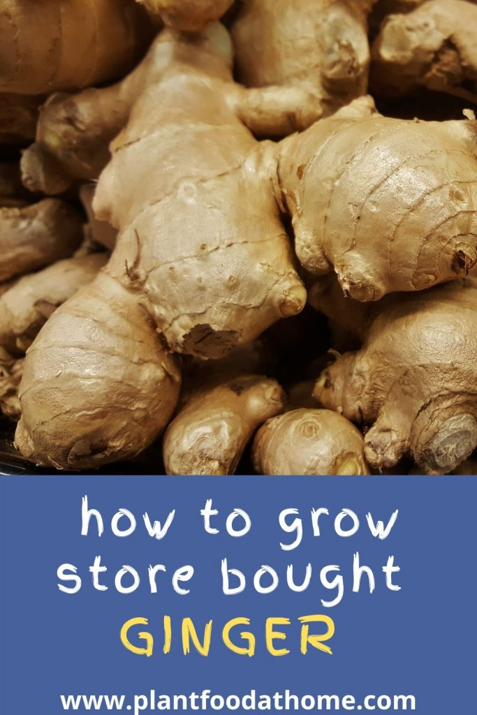 How To Grow Store Bought Ginger At Home