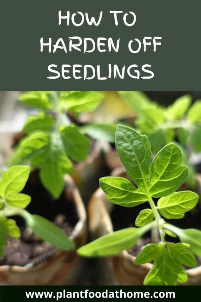 How To Harden Off Seedlings - Tomatoes