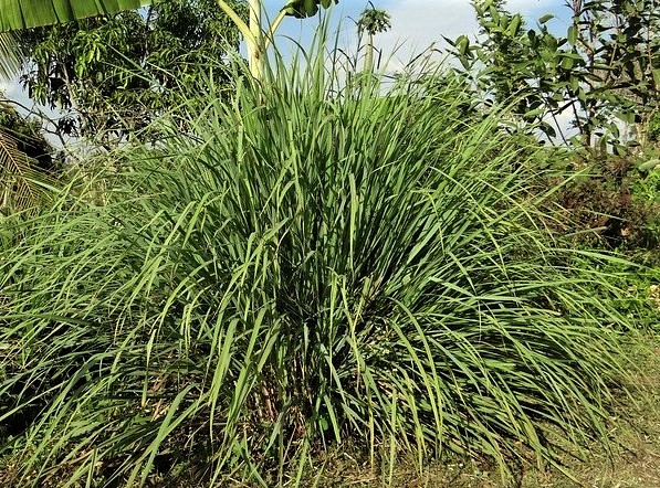 How To Grow Lemongrass Plant