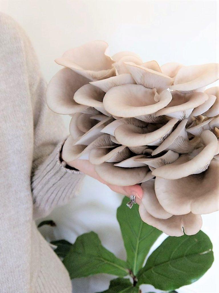 Homegrown Oyster Mushroom for Oyster Mushroom Risotto Recipe