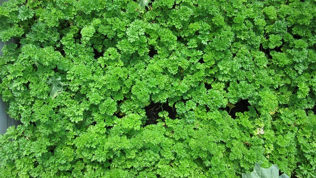 Curly Leaf Parsley - Growing Parsley