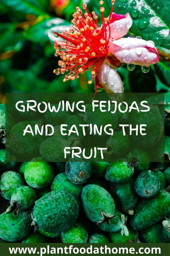 Growing Feijoas and Eating the Fruit