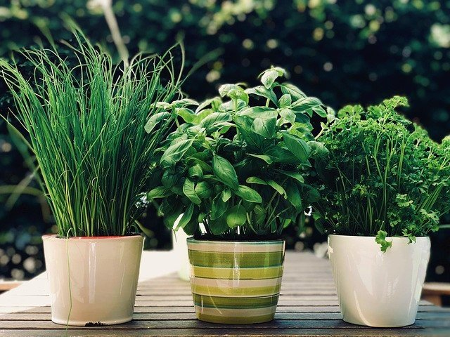Growing Herbs In Pots - How To Grow Parsley