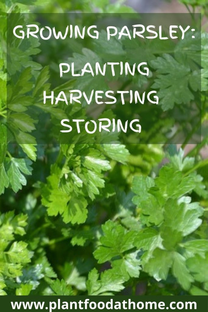 Growing Parsley - planting storing harvesting parsley