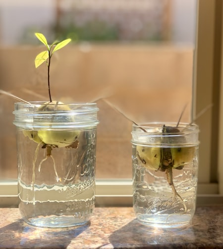 Regrow an avocado from kitchen scraps - How to Grow Avocados Indoors