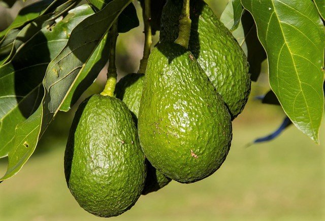 Fruiting Avocado Tree - How To Grow Avocados