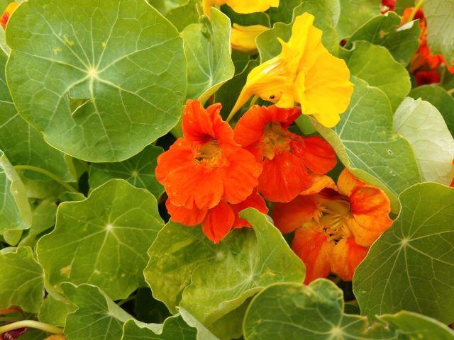 Growing Nasturtium in the Vegetable Garden