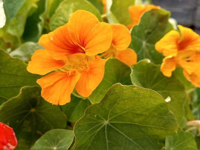 How To Grow Nasturtium in the Vegetable Garden - Nasturtium Companion planting