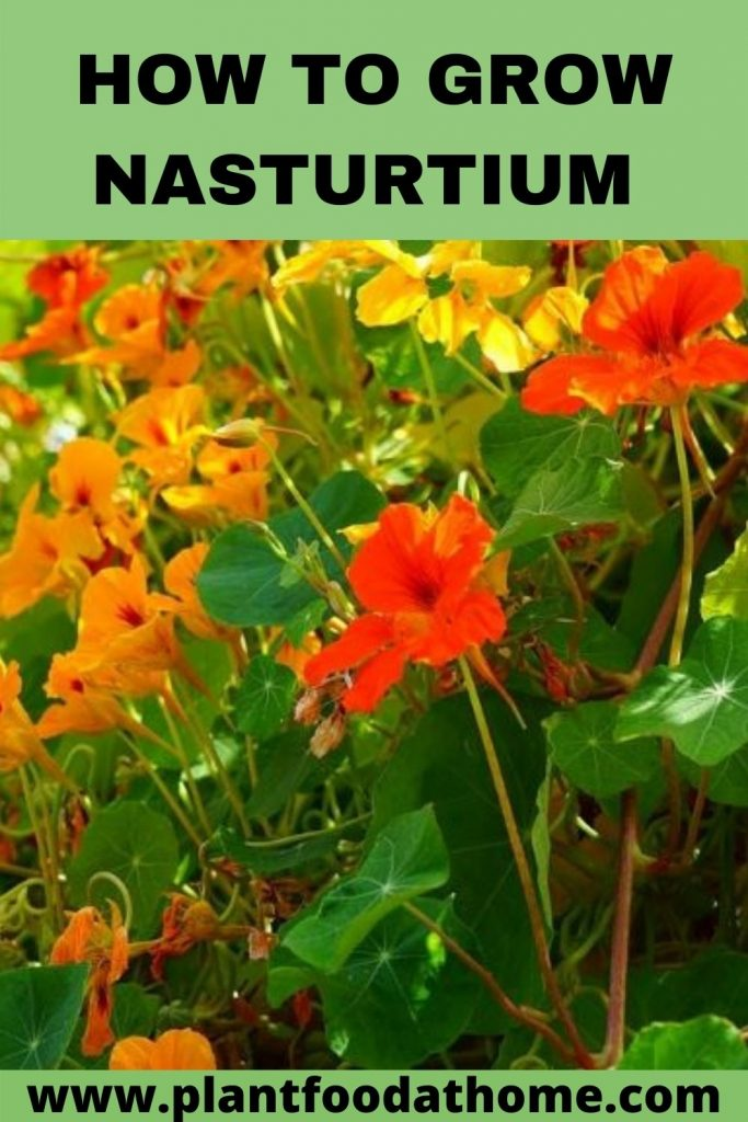 How To Grow Nasturtiums at Home