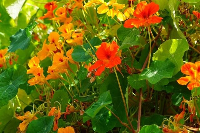 How To Grow Nasturtiums in the Vegetable Garden