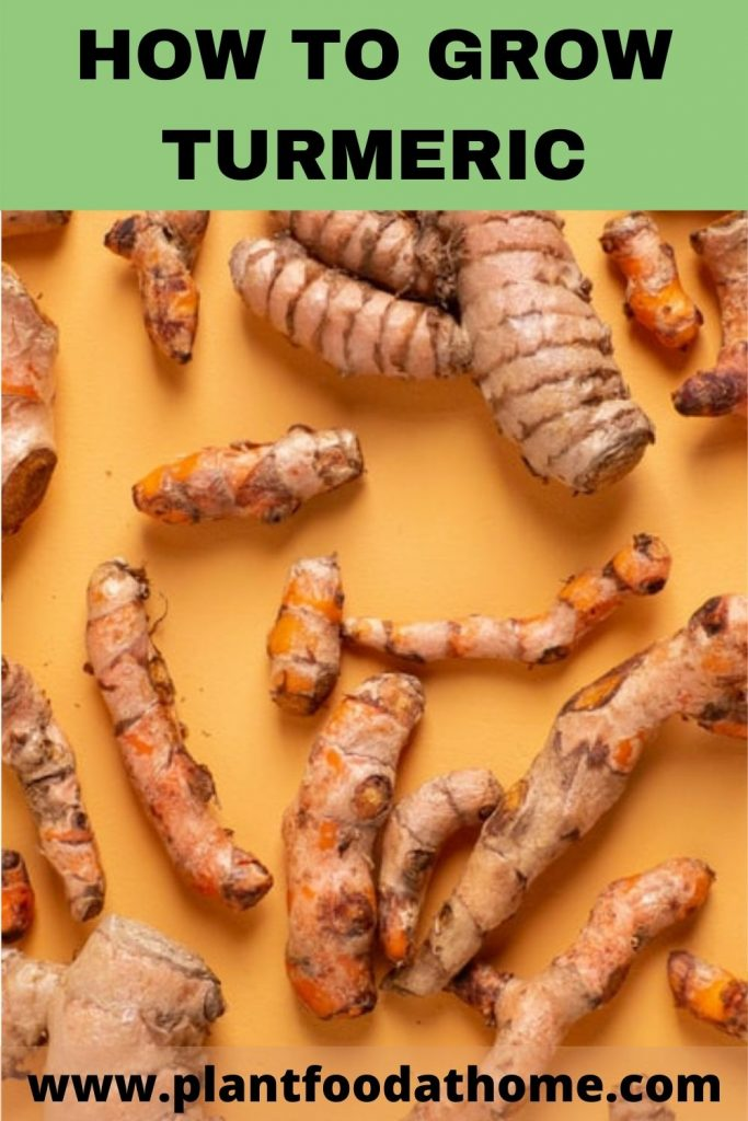 How To Grow Turmeric at Home