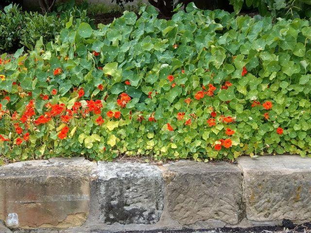 How to Grow Nasturtium