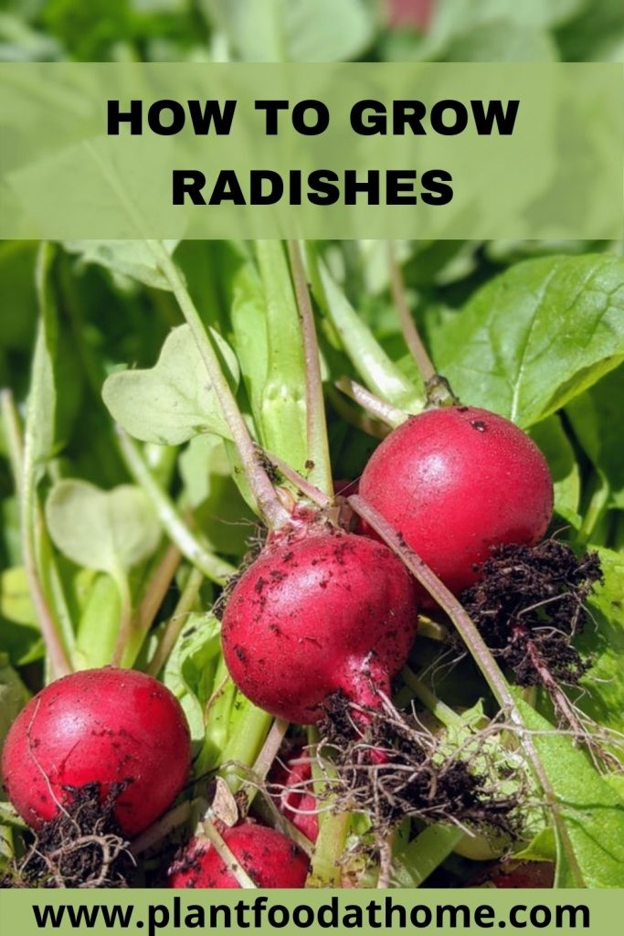 How to Grow Radishes - Easiest Vegetable to Grow