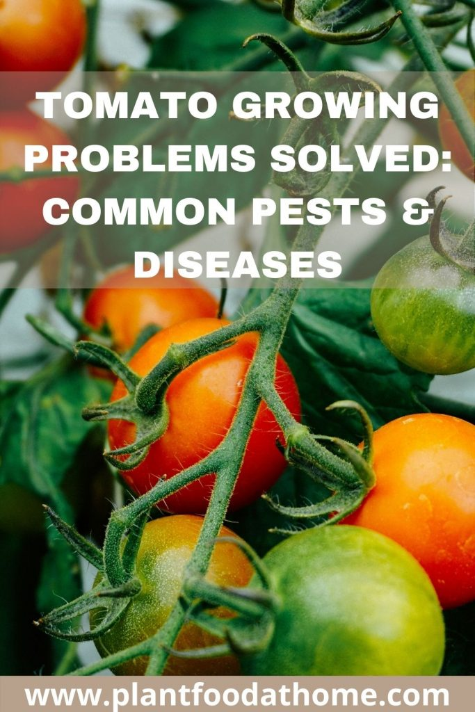 Tomato Growing Problems Solved - Common Pests and Diseases