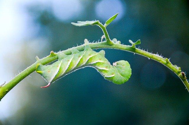 Tomato Pest - caterpillar hornworm