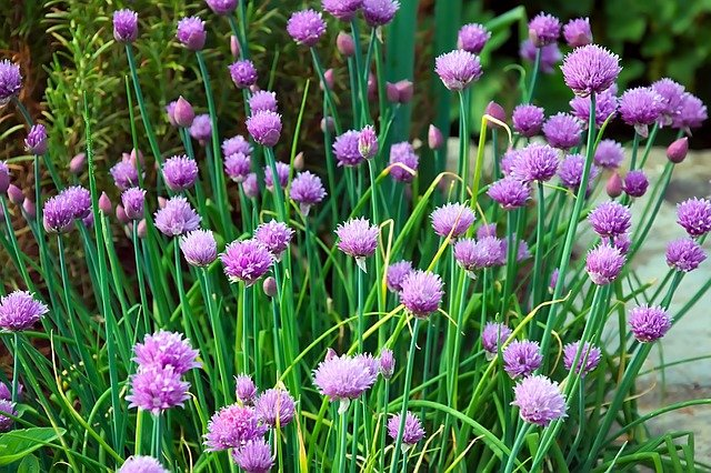 Chives Flowers - How to Grow Chives