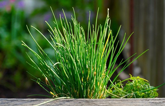Chives in the Herb Garden - How to Grow Chives