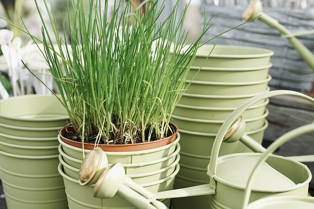 How to Grow Chives in Pots