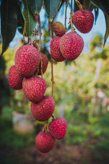 Lychees Growing on a Tree - What is a Lychee