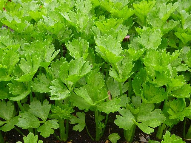 Celery Plants - How to Grow Celery for Juicing
