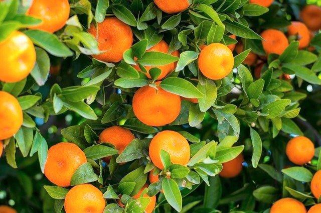 Citrus Leaf Miner Organic Control