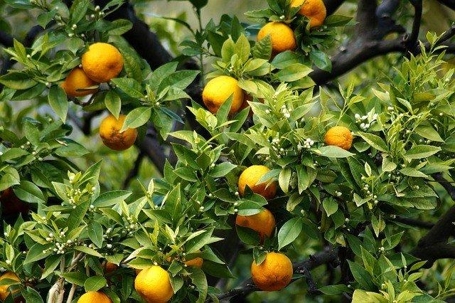 Citrus Tree - Citrus Leaf Miner Natural and Organic Control