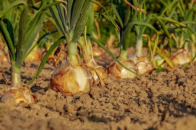 Growing Bulb Onions - Things You Should Know