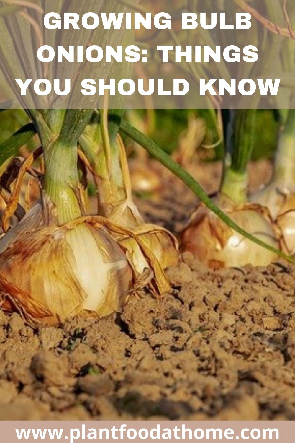 Growing Bulb Onions things you should know