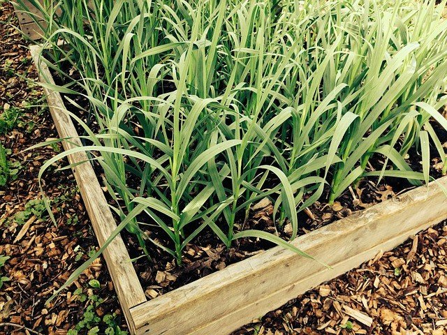 Growing Garlic - How to Grow Garlic