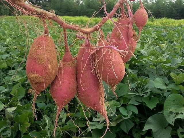 Harvested Sweet Potatoes Showing That Roots Form From the Narrow Tapered End of the Sweet Potato